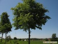 drzewokrzew_523
