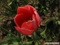 kwiat_217