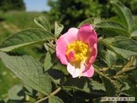 kwiat_239