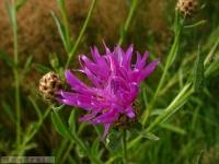 kwiat_294