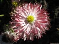kwiat_439