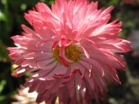 kwiat_445