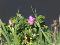 kwiat_497