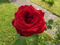 kwiat_515