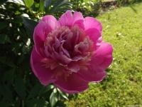 kwiat_516