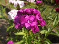 kwiat_517