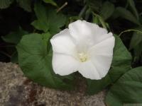 kwiat_528