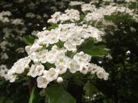 kwiat_919