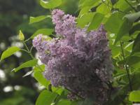 kwiat_925