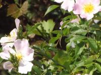 kwiat_952