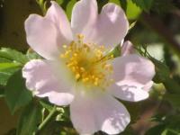 kwiat_955