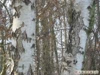 drzewokrzew_241