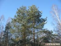 drzewokrzew_289