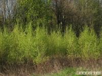 drzewokrzew_437