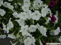 kwiat_051