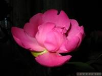 kwiat_335