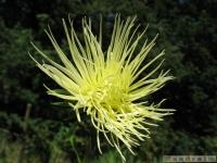 kwiat_349