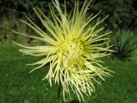 kwiat_350