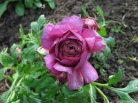 kwiat_419