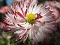 kwiat_442