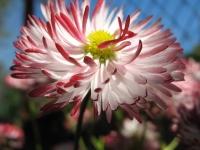 kwiat_443