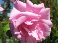 kwiat_459