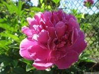 kwiat_460