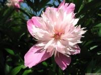 kwiat_462