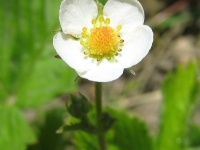 kwiat_475
