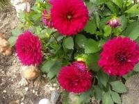 kwiat_483