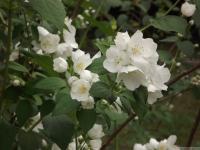 kwiat_525