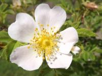 kwiat_590