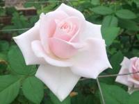 kwiat_648