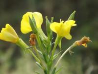 kwiat_653