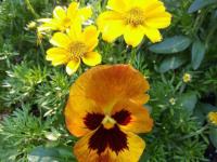 kwiat_680