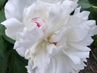 kwiat_889