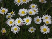kwiat_907